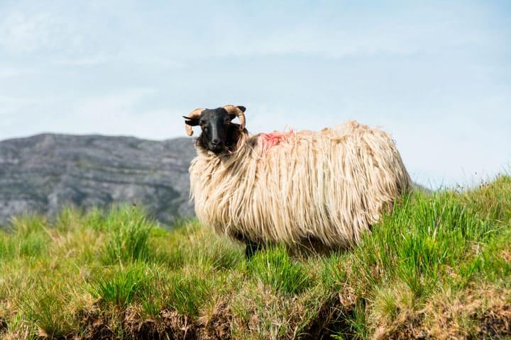 Irish Rural Sheep